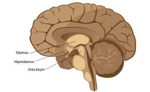 Ara ve orta beyin
