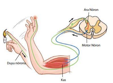 Fonksiyonlarına göre nöronların çalışma mekanizması
