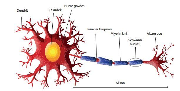 Sinir hücresinin yapısı