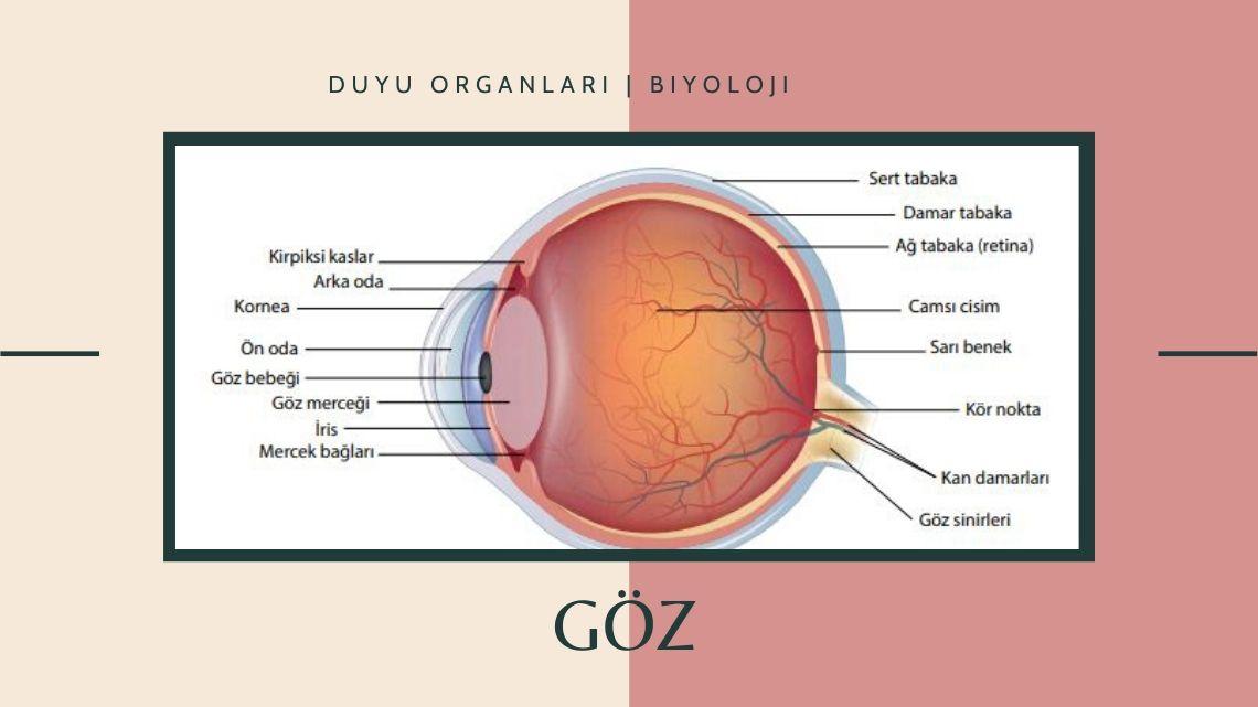 Göz | Duyu organları | Biyoloji